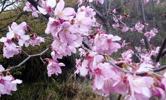 wahyualam.com - sakura di Taiwan 2