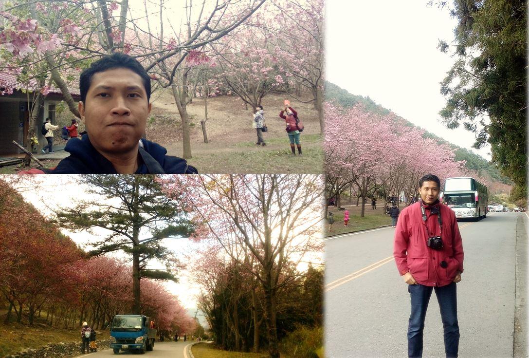 wahyualam.com - sakura di taiwan